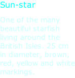 Sun-star One of the many beautiful starfish living around the British Isles. 25 cm in diameter, brown, red, yellow and white markings.