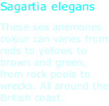 Sagartia elegans These sea anemones colour can varies from reds to yellows to brown and green, from rock pools to wrecks. All around the British coast.